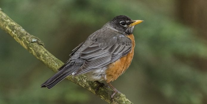 A spring robin perched on a tree branch.