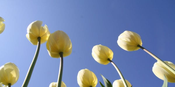 Photo of yellow tulips, shot from underneath the flowers looking up to a clear blue sky.