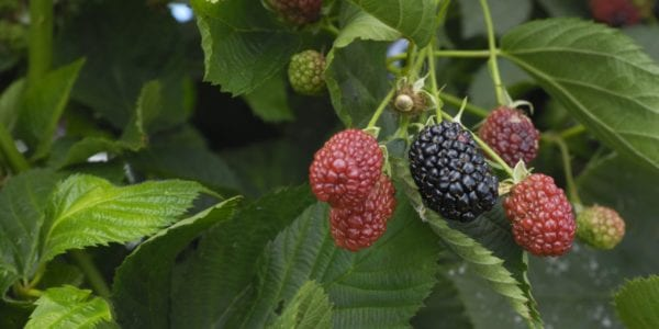 Close-up of ripening blackberries on the vine.